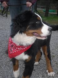 Lexy, chien Bouvier bernois