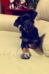 Lexy, chien Rottweiler