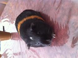 Lexy, rongeur Cochon d'Inde