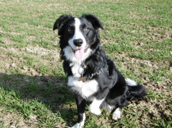 Lexy, chien Border Collie
