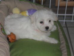 Lexy, chien Bichon maltais