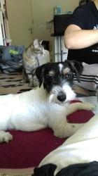 Lexy, chien Fox-Terrier