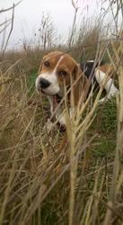 Leya, chien Beagle