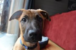 Leya, chien Berger belge
