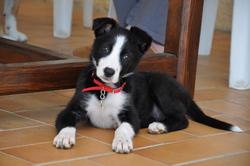 Leya, chien Border Collie