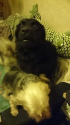 Leyco, chien Labrador Retriever