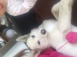 Leyka, chien Husky sibérien
