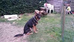 Leyka, chien Berger allemand