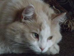 Leyla, chat Gouttière