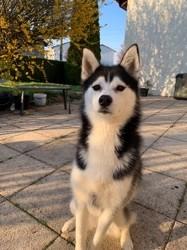 Leyna, chien Husky sibérien