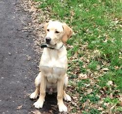 Leyton, chien Labrador Retriever