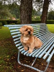 Max, chien Lhassa Apso