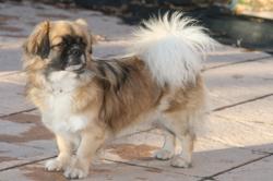 Lhassa Des Tibétains Du Soleil, chien Épagneul tibétain
