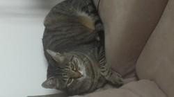 Lhaya, chat Européen