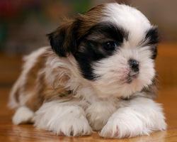 Li-Lou, chien Shih Tzu