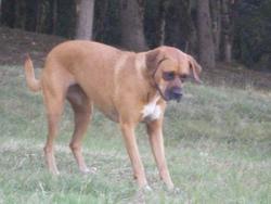 Lia, chien Boxer