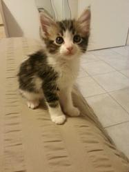 Lia, chat Européen