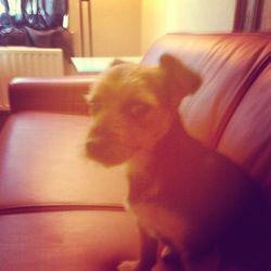 Lia, chien Yorkshire Terrier