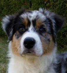 Liam Grey Ottway Neeson, chien Berger australien