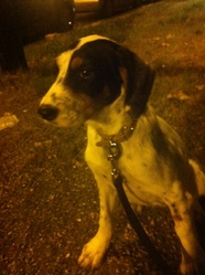 Liba, chien Setter anglais