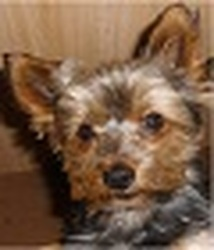 Libby, chien Yorkshire Terrier