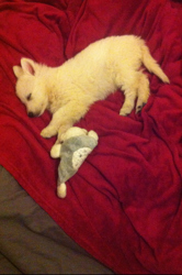 Chayah, chien Berger blanc suisse