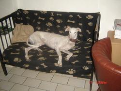 Liberty , chien Lévrier espagnol