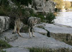 Lica, chien Chien-loup tchèque