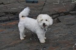 Lichee, chien Bichon à poil frisé