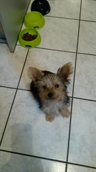 Liddi, chien Yorkshire Terrier