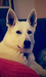 Lidy, chien Berger blanc suisse