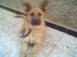 Lieka, chien Berger belge