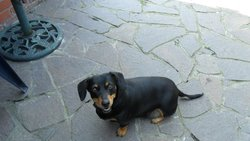 Lieka, chien Teckel