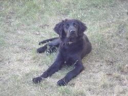 Liffy, chien Labrador Retriever