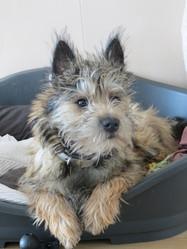 Lifou, chien Cairn Terrier