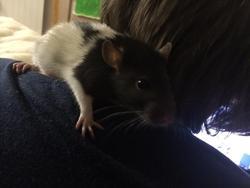 Lifty , rongeur Rat