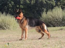 Ligger, chien Berger allemand