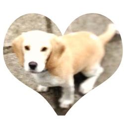 Lighane, chien Beagle