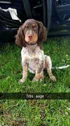 Lika, chien Épagneul picard