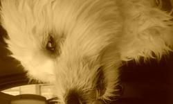 Lila, chien Coton de Tuléar