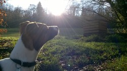 Lila, chien Jack Russell Terrier