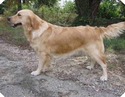 Lila, chien Bichon maltais