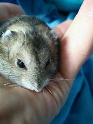 Lila, rongeur Hamster