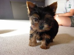Lila, chien Yorkshire Terrier