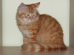 Lila, chat Européen