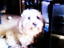 Lila, chien Bichon à poil frisé