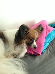 Lila, chien Épagneul nain continental