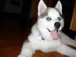 Lila, chien Husky sibérien