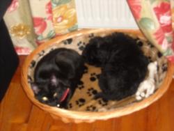 Lila, chien Shih Tzu