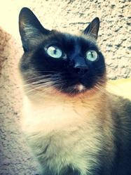 Lila, chat Siamois